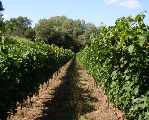 Vignes_Saint-Christol - Vignovins